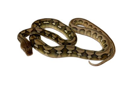 Picture of Male Dwarf Anery Sunfire Tiger Reticulated Python