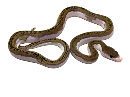 Picture of Platinum (pos citron) Pied Reticulated Python