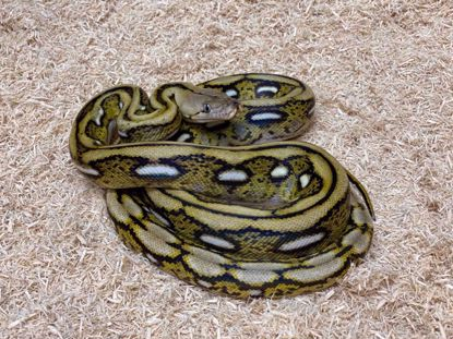 Picture of Male Jay's Pick Citron Tiger Reticulated Python